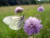 Papillon1_4